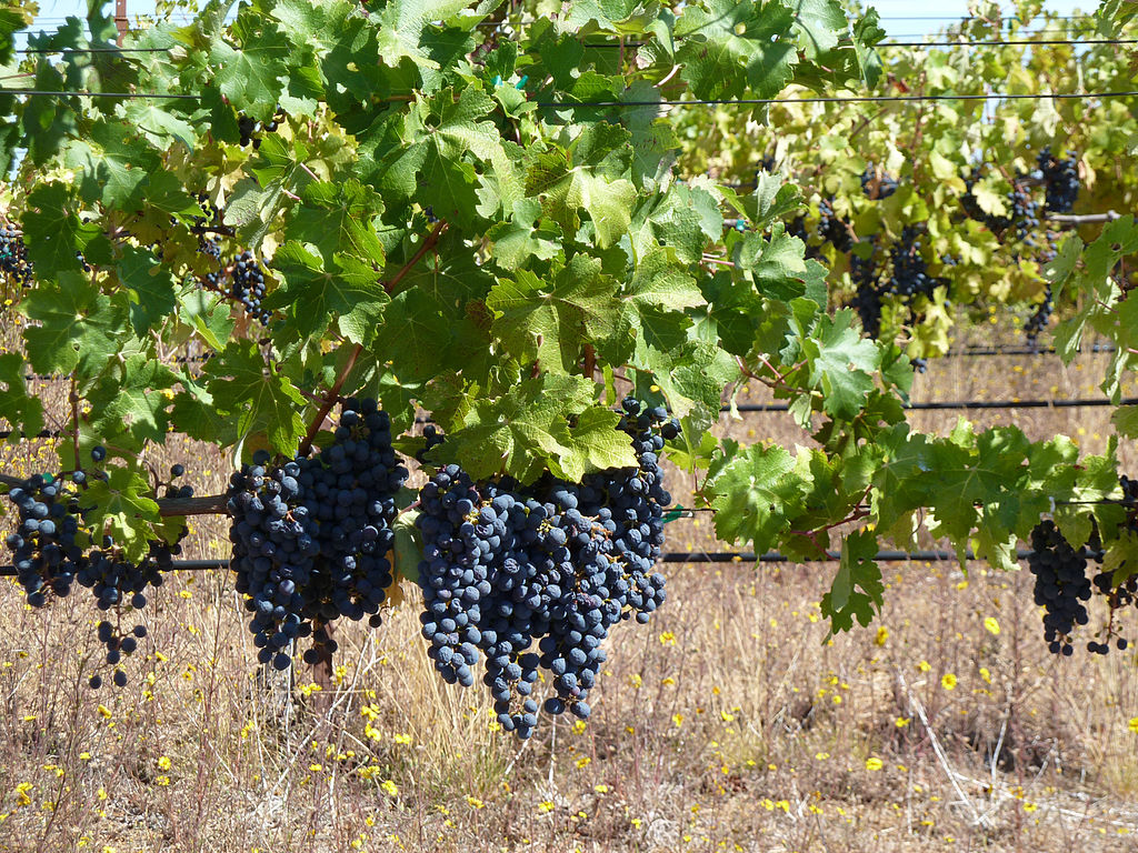 Cabernet Grapes, Ridge, Monte Bellow