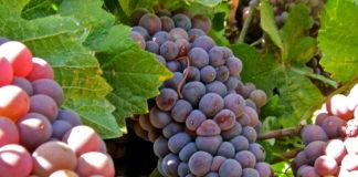 Vino Farms of Lodi - Pinot Gris grapes