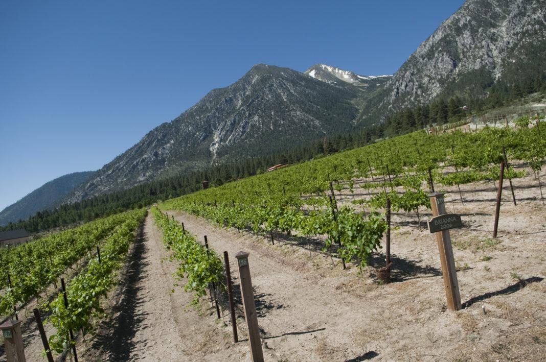Tahoe Ridge Winery Vineyard