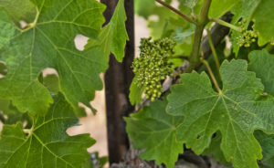 Baby Grapes in Paso Robles