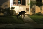 A deer in downtown Paso Robles!