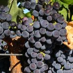 After the House, the Search for the Perfect Merlot