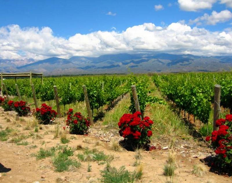 Roses at end of rows of grapevines