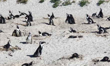 Honeymoon, Africa, Cape Town, and Wine! (Part 5 – Views and Penguins!)