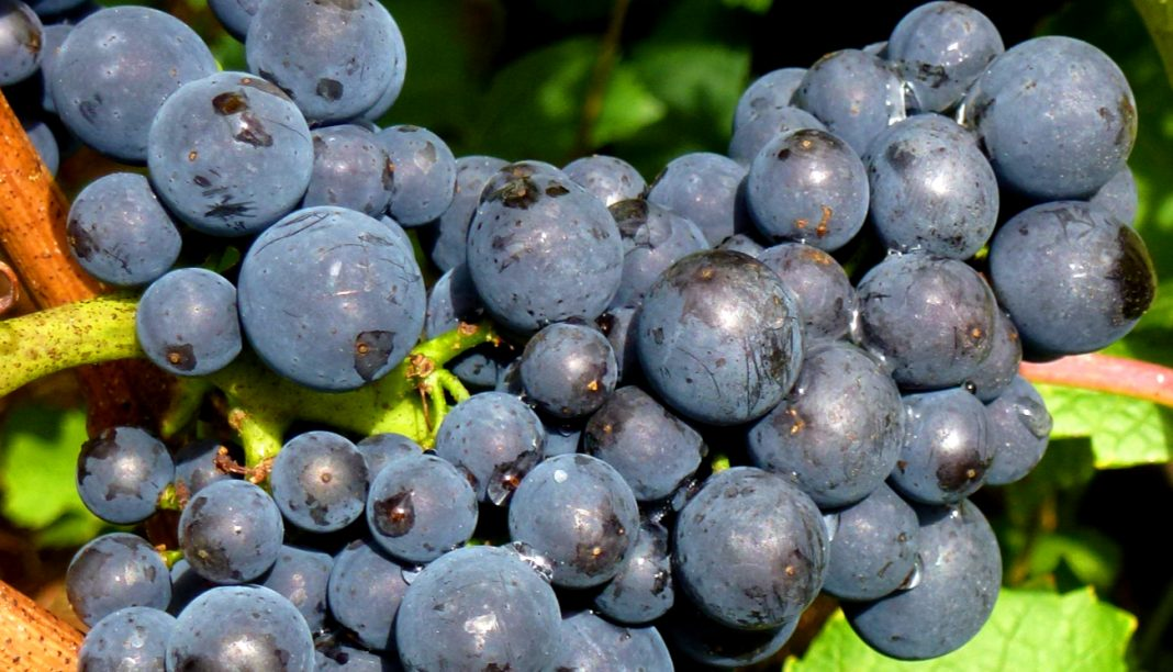 California Pinot Noir Grapes