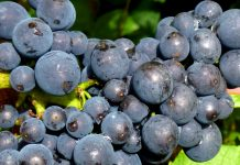 California Pinot Noir Grapes