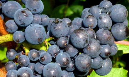 Can Budget Pinot Noir be a Daily Drinker?