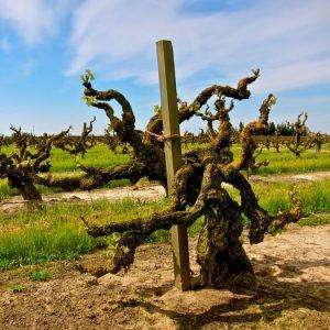 Zinfandel Vine