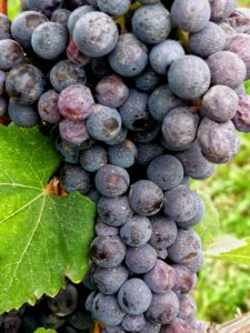 Nebbiolo Grapes in Italy