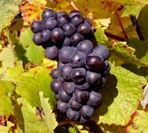 Pinot Noir grapes in Sancerre
