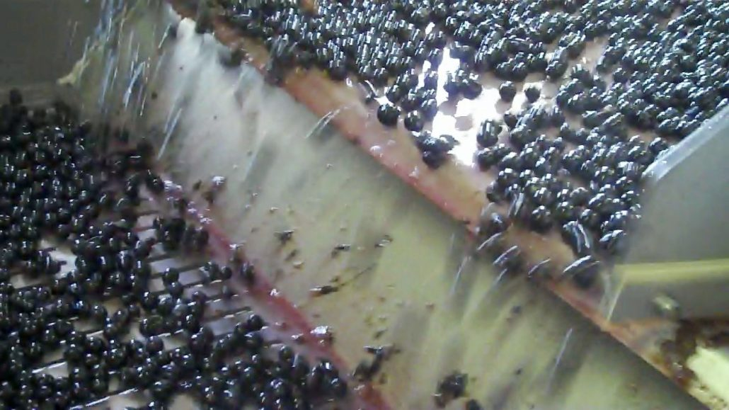Berries of Merlot being sorted at Chateau Kirwan in a process that removes shot berries and MOG